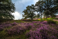 Moor in Bloom. Fields of the moor of National park Veluwezoom, The Netherlands stock photos
