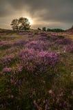 Moor in bloom Stock Images
