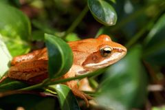 Moor frog Royalty Free Stock Images