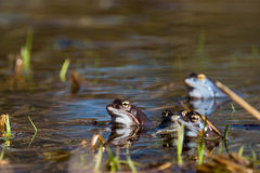 Moor frog. In spring (Rana arvalis stock photography
