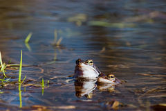 Moor frog Royalty Free Stock Photography