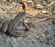 Moor frog catching a dragonfly Royalty Free Stock Image
