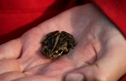 Moor Frog In Hand Royalty Free Stock Photos