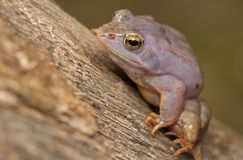 Moor frog Stock Photo