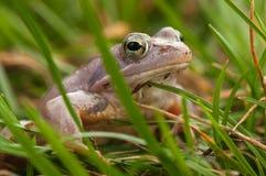 Moor frog Stock Image