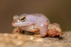 Moor frog Stock Photos