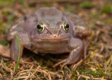 Moor frog Stock Images