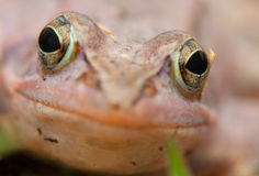 Moor frog Royalty Free Stock Photos
