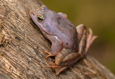 Moor frog Stock Photos