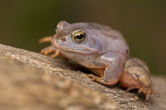 Moor frog Royalty Free Stock Photo