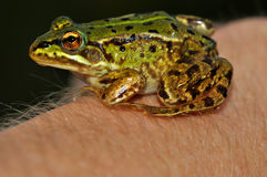 Moor Frog (Rana Arvalis) sitting on hand Stock Images