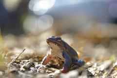 Moor frog in spring Rana arvalis. Stock Image