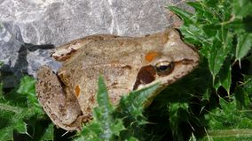 Moor frog Royalty Free Stock Photos