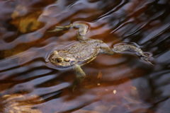 Moor Frog In The Water Royalty Free Stock Photos