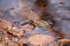 Moor Frog In The Water Stock Photo