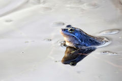 Moor frog in the wild Royalty Free Stock Photos