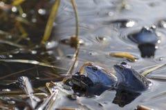 Moor frogs Stock Photos
