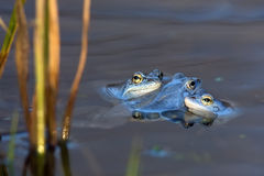 Moor frogs on the lake Royalty Free Stock Photo