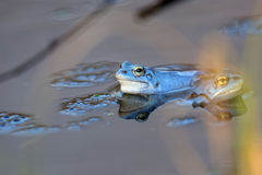 Moor frogs on the lake Stock Photo