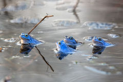 Moor frogs on the lake Stock Photography