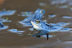 Moor frogs on the lake Royalty Free Stock Photography