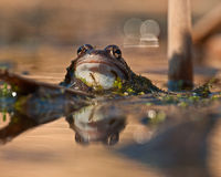Moor frogs rana arvalis looking in close-up Stock Images