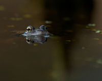 Moor frogs rana arvalis looking Royalty Free Stock Images