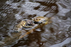 Moor Frogs In The Water Stock Photography