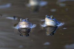 Moor frogs in the wild Stock Image