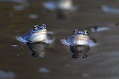 Moor frogs in the wild Stock Photos