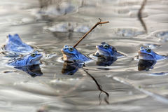 Moor frogs in the wild Royalty Free Stock Image