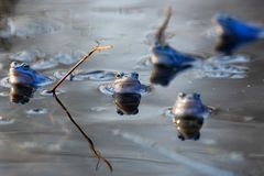 Moor frogs in the wild. In the water stock photography