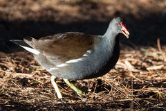 Moor hen Royalty Free Stock Images