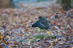 Moor hen Stock Photography