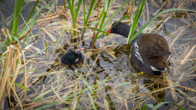 Moor hen mother and baby. Mother and son swimming around stock images