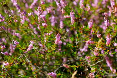 Moor. A purple-flowered Eurasian heath that grows abundantly on moorland and heathland Stock Photos