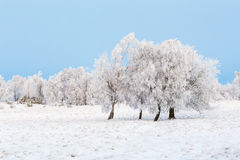 Moor with trees and frost. Moor with trees in hoarfrost in the winter royalty free stock image