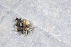 Moordenaar Bug Royalty-vrije Stock Afbeelding