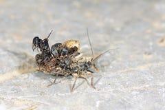 Moordenaar Bug Stock Afbeelding