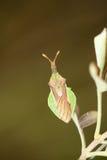 Moordenaar Bug Royalty-vrije Stock Afbeeldingen