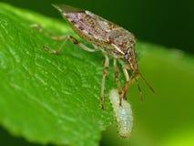 Moordenaar Bug Eating een Rups Stock Foto's