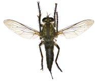 Moordenaar Fly op witte Achtergrond Stock Afbeeldingen