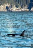 Moordenaar Whate die - Orka - in Kenai-Fjorden Nationaal Park ademen in Seward Alaska de V.S. royalty-vrije stock afbeeldingen