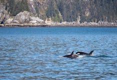 Moordenaar Whate [Orka] en baby in Kenai-Fjorden Nationaal Park in Seward Alaska de V.S. stock fotografie