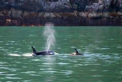 Moordenaar Whate [Orka] en baby in Kenai-Fjorden Nationaal Park in Seward Alaska de V.S. royalty-vrije stock fotografie