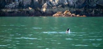 Moordenaar Whate - Orka - in Kenai-Fjorden Nationaal Park in Seward Alaska de V.S. stock afbeeldingen