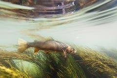 Moordenaarforel die agains de stroom zwemmen stock foto