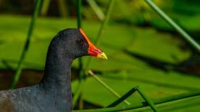 Moore Hen sombre en Australie photographie stock libre de droits