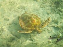 Moorea sköldpadda och fisk arkivbild