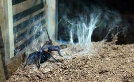 Tarantula Aphonopelma Mooreae stock photo